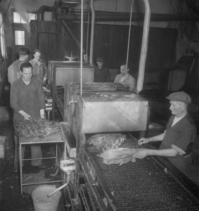 Vereinigte Tabakfabriken AG, Solothurn: Reportage Fabrikation