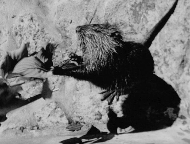 Berna: castoro di palude allo zoo. (0137-2)
