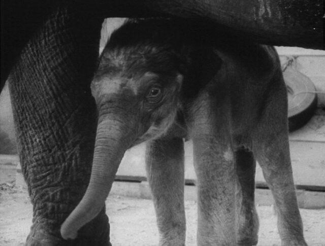 L'elefante bambino di Rapperswil (1055-2)