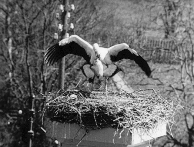 Les cigognes de Neunkirch (0334-1)