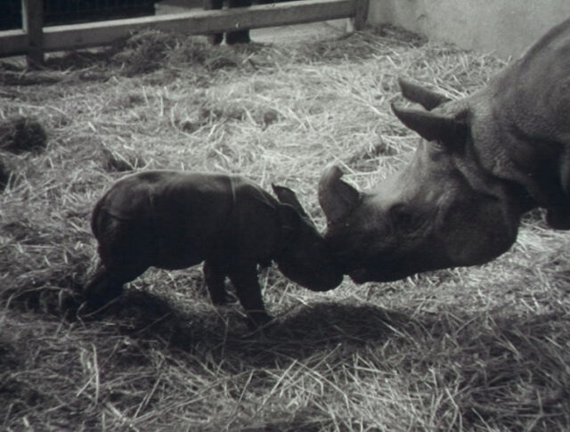 Un petit rhinocéros (0737-5)