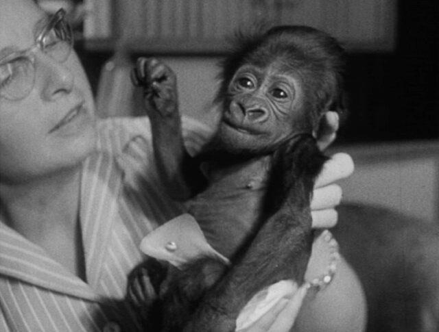 Petit gorille parmi les hommes (0888-1)
