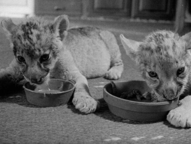 Bébés lions et animaux domestiques (0903-3)