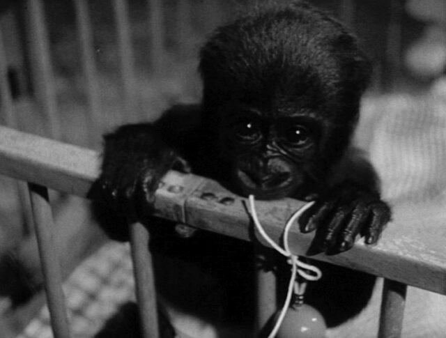 Bébé gorille a 5 mois (0906-2)
