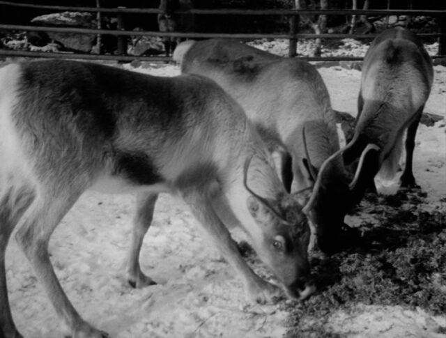 Des rennes en Valais (0947-1)