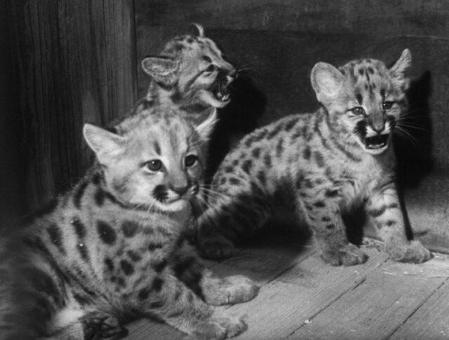Les jeunes pumas du zoo de Zurich (1253-1)