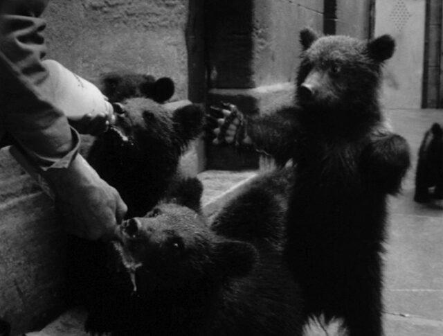 Tigres, ours et chimpanzés (1464-1)
