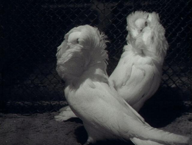 Taubenschönheit (0600-2)