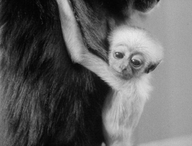 Der junge Gibbon im Zürcher Zoo (1010-3)