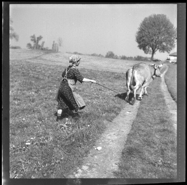 Vieh in der Elfenau