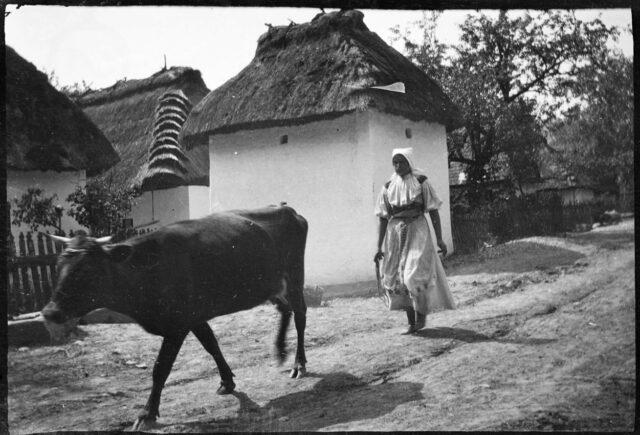 Femme, en costume traditionnel slovaque, suivant une vache