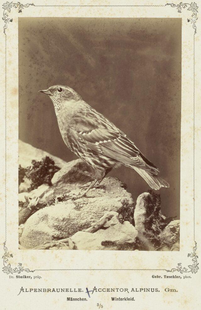 Alpenbraunelle (Accentor Alpinus, Männchen, Winterkleid), 1876–1878