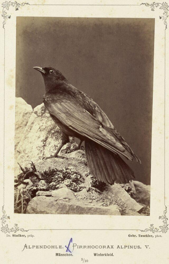 Alpendohle (Pirrhocorax Alpinus V., Männchen, Winterkleid), 1876–1878