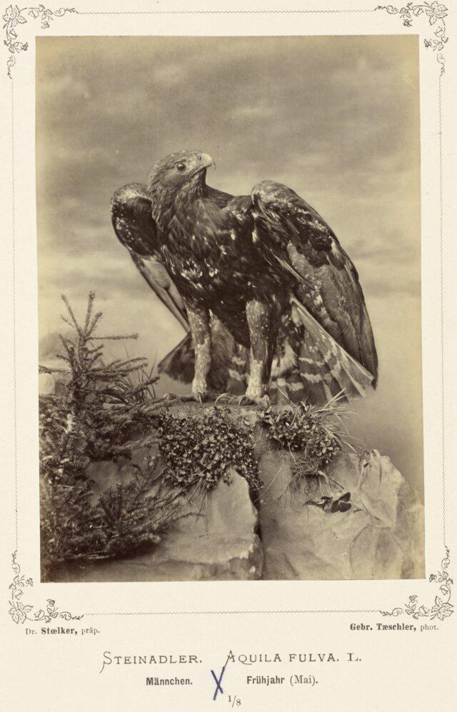 Steinadler (Aquila fulva L., Männchen, Frühjahr), 1876–1878