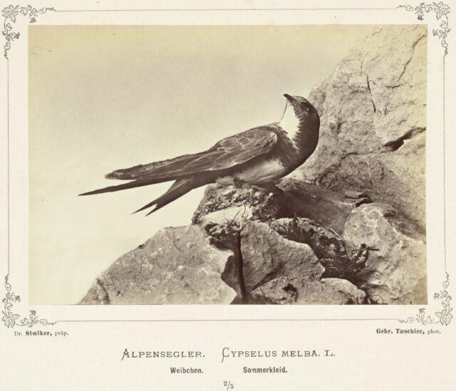 Alpensegler (Cypselus Melba L., Weibchen, Sommerkleid), 1876–1878