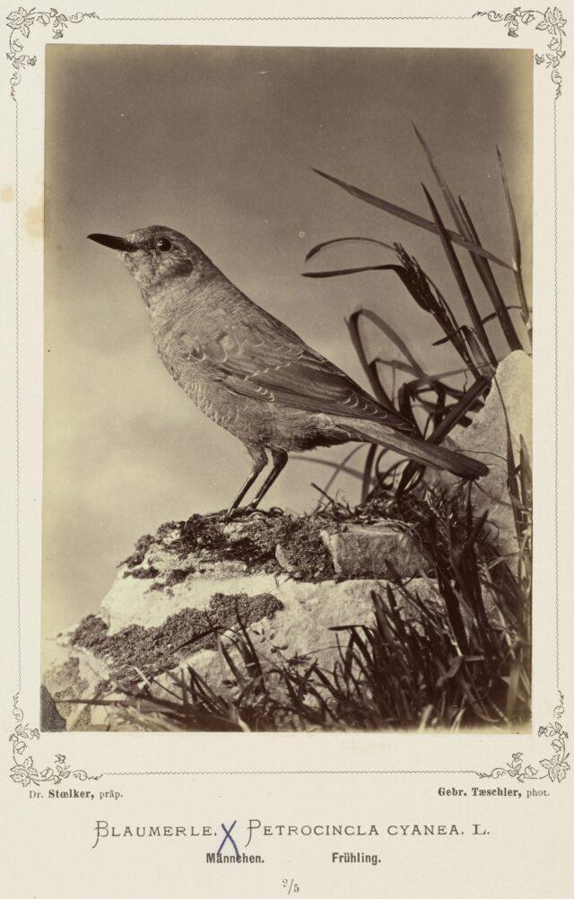 Blaumerle (Petrocincla cyanea, L., Männchen, Frühling), 1876–1878