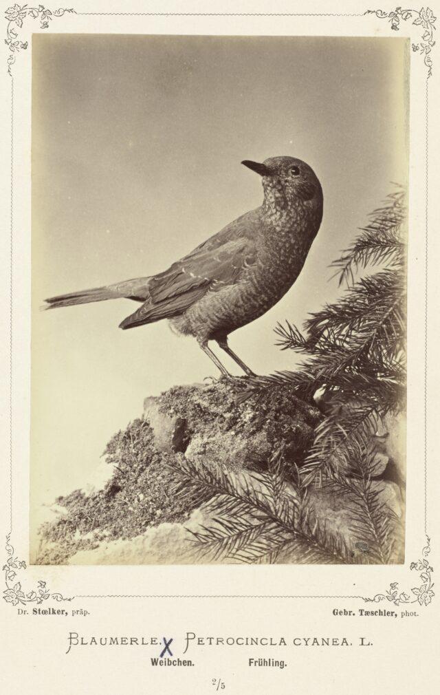 Blaumerle (Petrocincla cyanea, L., Weibchen, Frühling), 1876–1878
