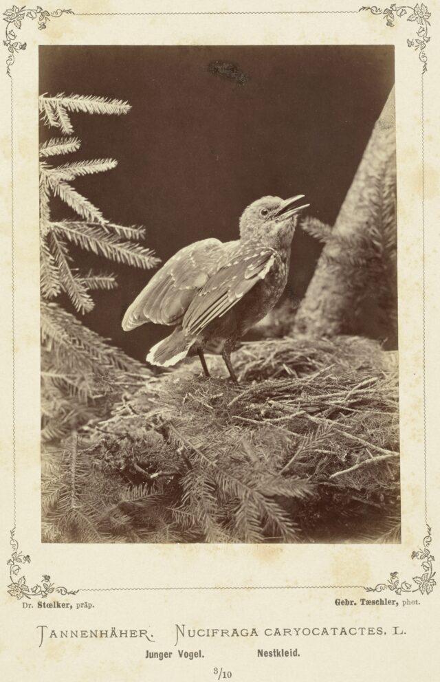 Tannenhäher (Nucifraga Caryocatactes, L., Junger Vogel, Nestkleid), 1876–1878