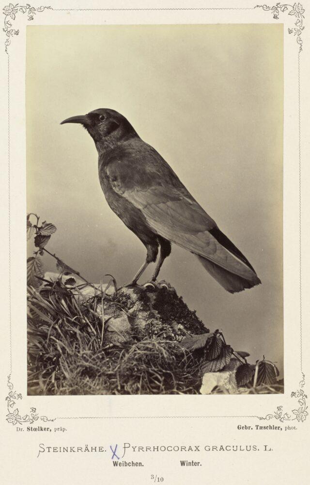 Steinkrähe (Pyrrhocorax Graculus, L. Weibchen, Winter), 1876–1878