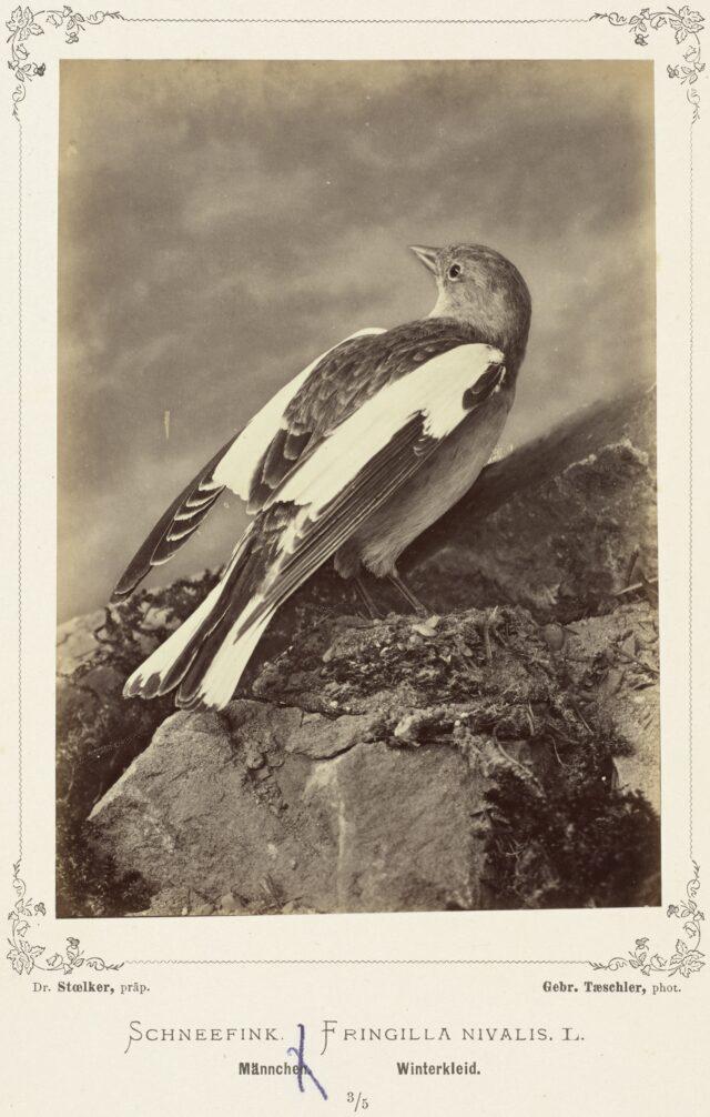 Schneefink, (Fringilla Nivalis, L., Männchen, Winterkleid), 1876–1878