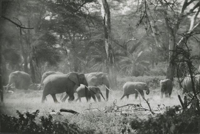 Elefantenherde im Amboseli-Nationalpark, Kenia, 1956