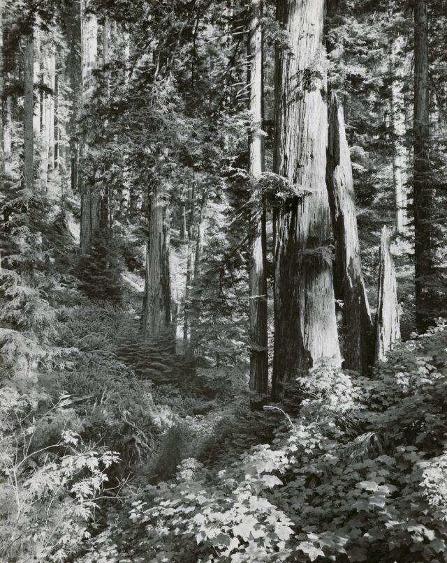 Mistery Tree, am Redwood Highway, Kalifornien, 1953