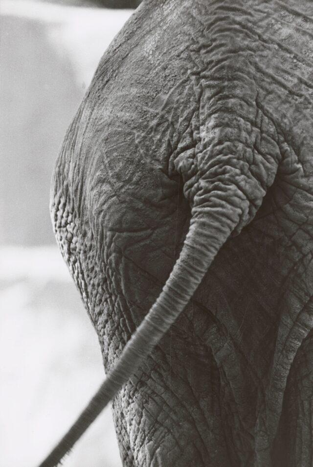 Elefant, Brookfield Zoo, Chicago, 1953