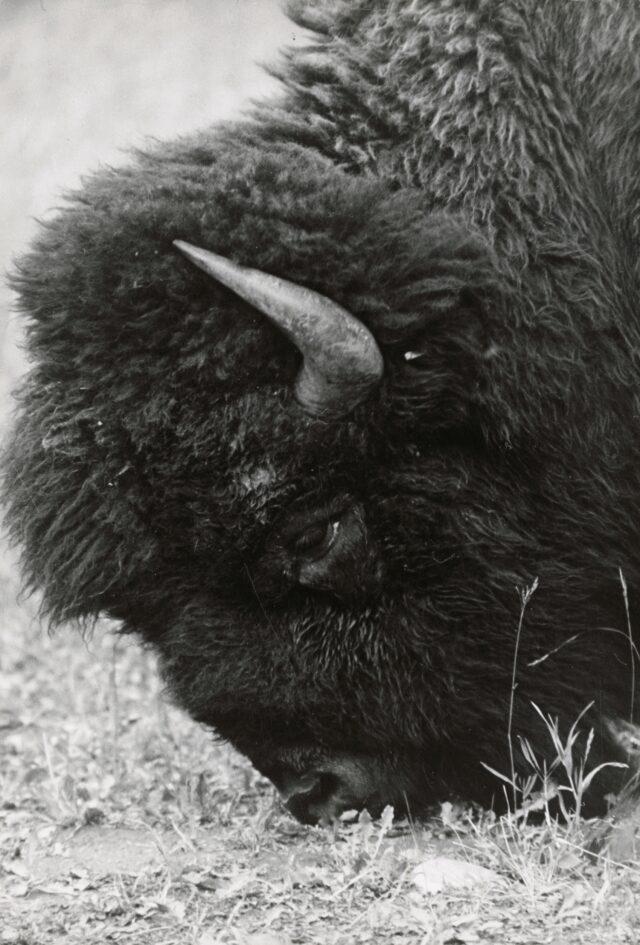 Bison, Yellowstone-Nationalpark, Wyoming, 1953
