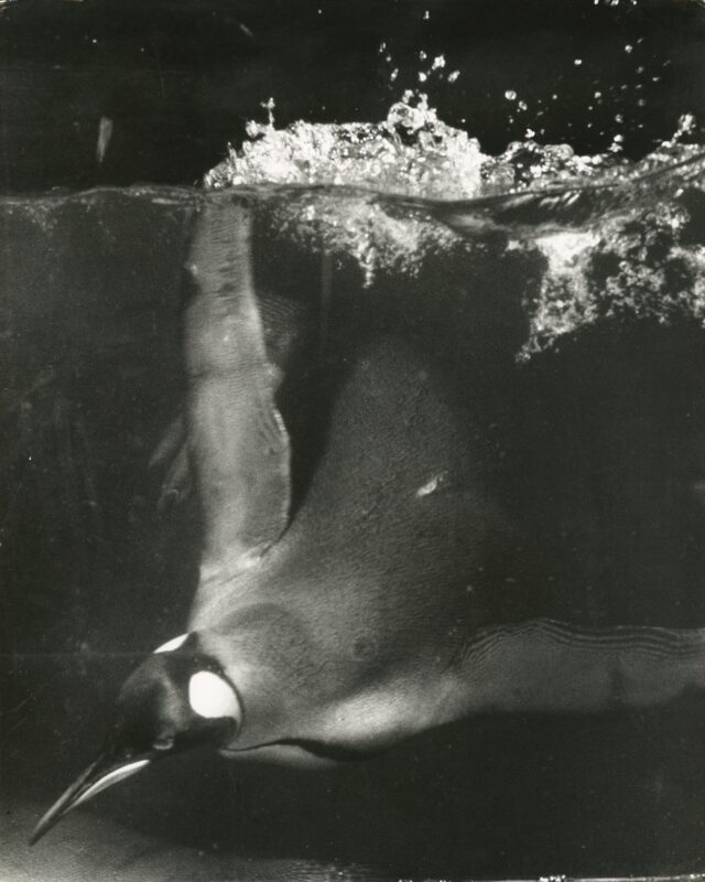 Königspinguin, Bronx Zoo, New York, 1953