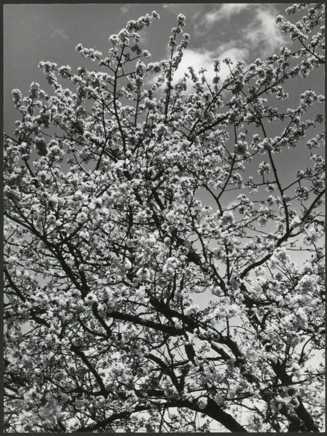 Blühender Baum, vor 1936