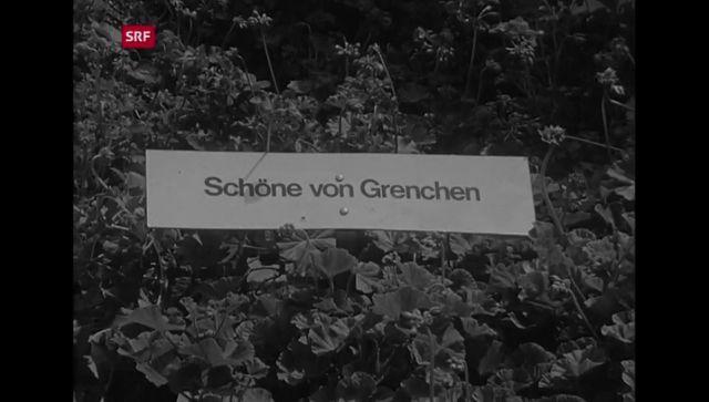 Blickpunkt Region: Geranienmarkt Bern